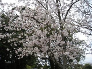 天神山の花見